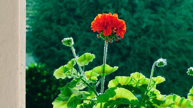 Free flower geranium in the morning backlight red flower