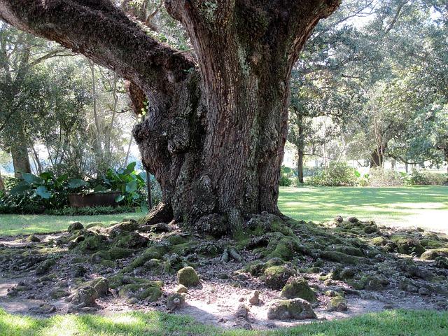 Free oak tree roots