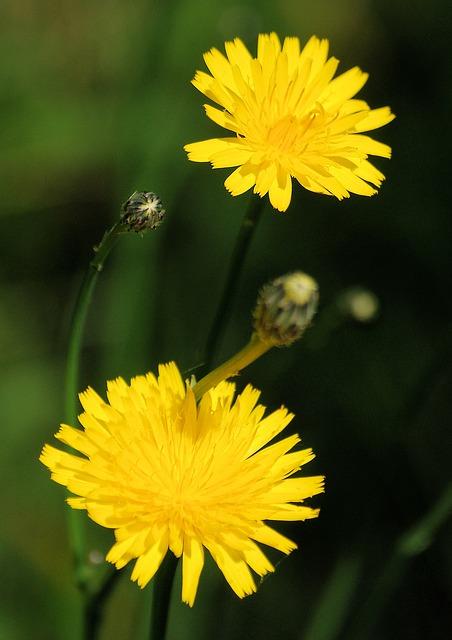 Free dandelion taraxacum officinale wild flower meadow
