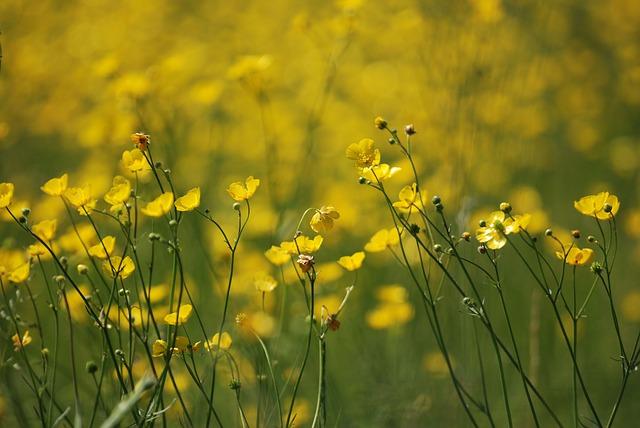 Free Photos: Buttercup ranunculus meadow yellow wild | Steve Bidmead
