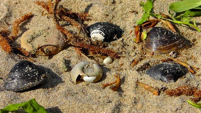 Free mussels flotsam beach sand snail shell