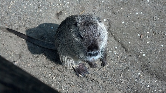 Free nutria myocastor coypus swamp beaver beaver tail