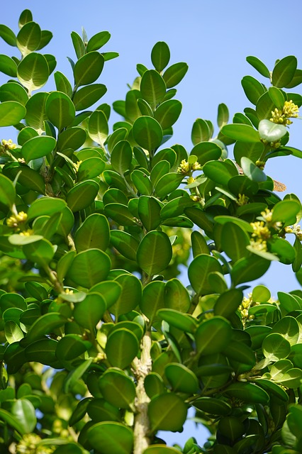 Free book ordinary boxwood branches green leaves