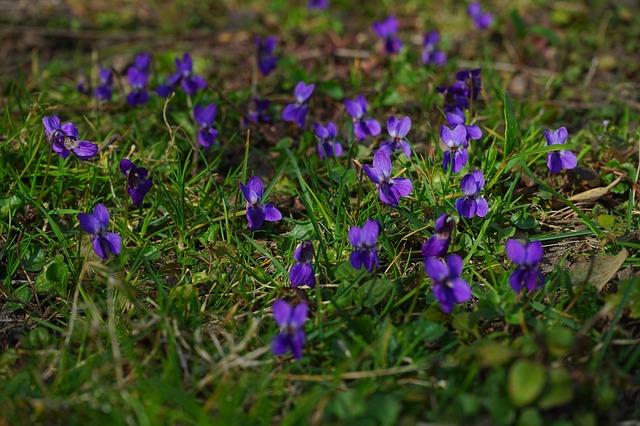 Free wald violet violet flower spring