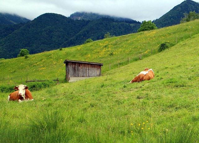 Free cows pasture landscape flora mountain meadows