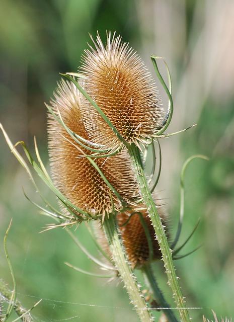 Free Photos: Teazle dipsacus teasel teazel seed autumn prickly | Steve Bidmead