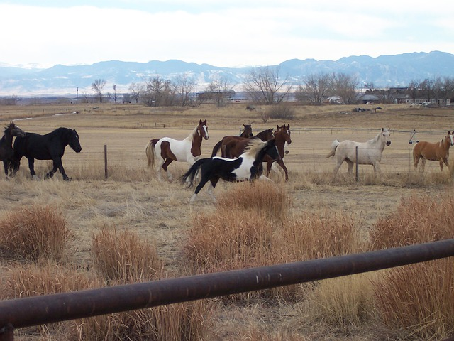 Free horse pinto paint animal saddlebred pet