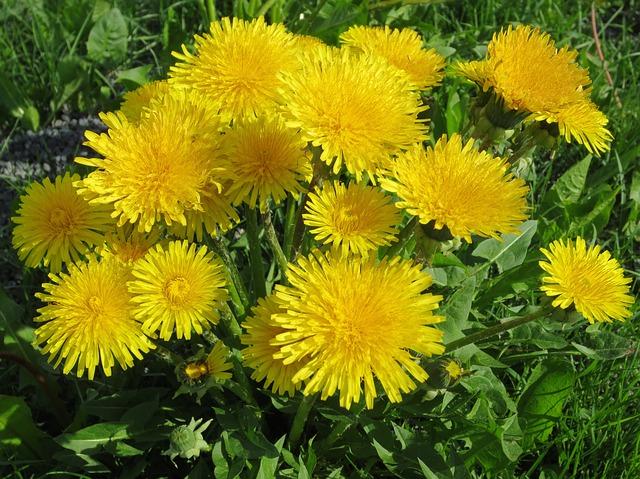 Free dandelion summer yellow field warm beautiful