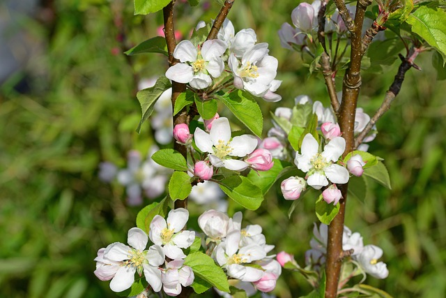 Free apple blossom flowers white and pink blooms veins