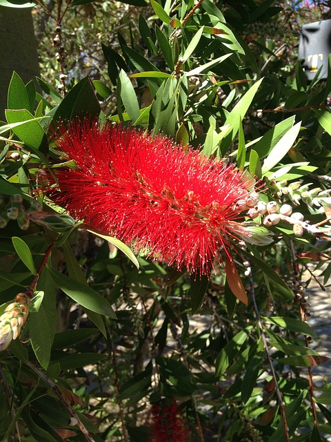 Free bottle brush flower flowers