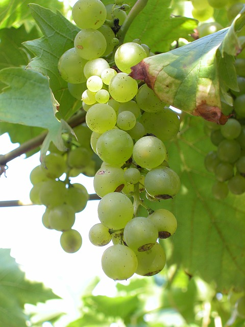 Free Photos: White grapes bunches grapes | mensinwerking