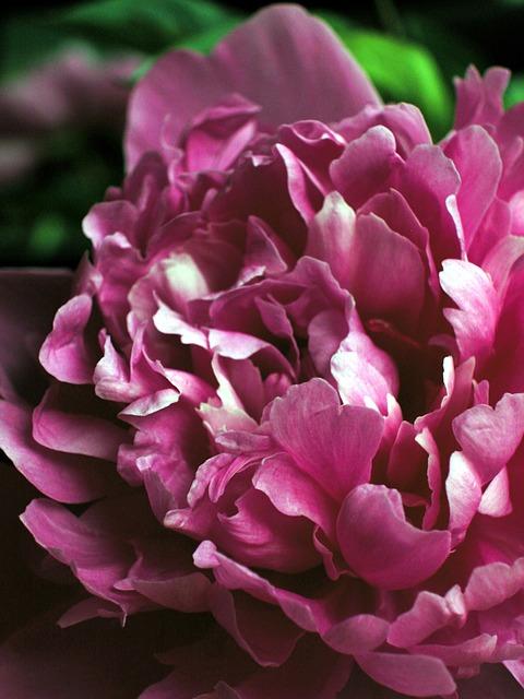 Free peony flower pink flower