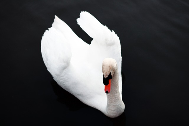 Free swan bird nature animal fauna ave animals wings