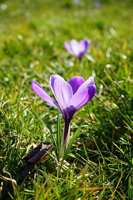 Free crocus flowers plant spring frühlingsblüher violet