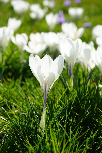 Free crocus flowers plant spring frühlingsblüher white