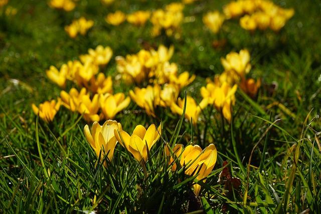 Free crocus flowers plant spring frühlingsblüher yellow