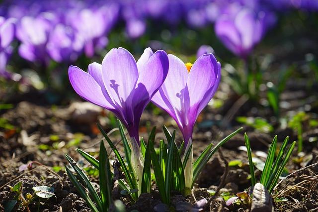 Free crocus flowers purple violet back light stamp