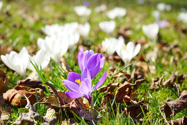 Free crocus flower spring purple close white