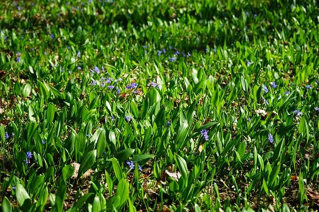 Free blue star scilla garlic leaves flower blue violet