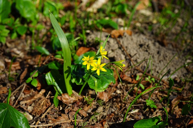Free forest - yellow star gagea lutea flower yellow