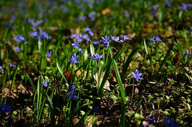 Free blue star scilla flower blue violet purple spring