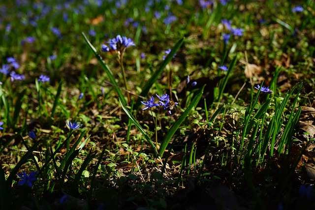 Free blue star scilla flower blue spring early bloomer