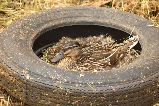 Free pollution duck duck females breeding end breed