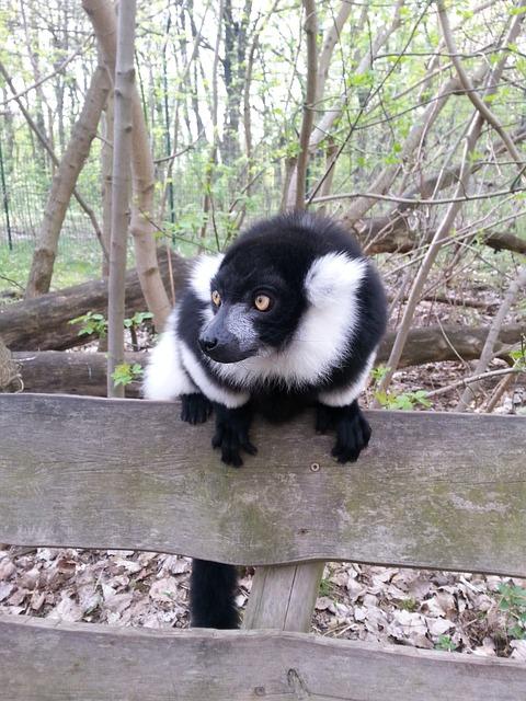 Free pets old world monkey black and white monkey nature