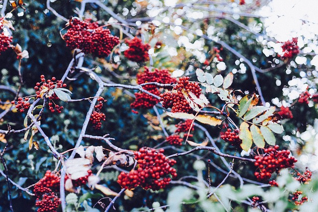 Free rowan berries berries red bush shrubs