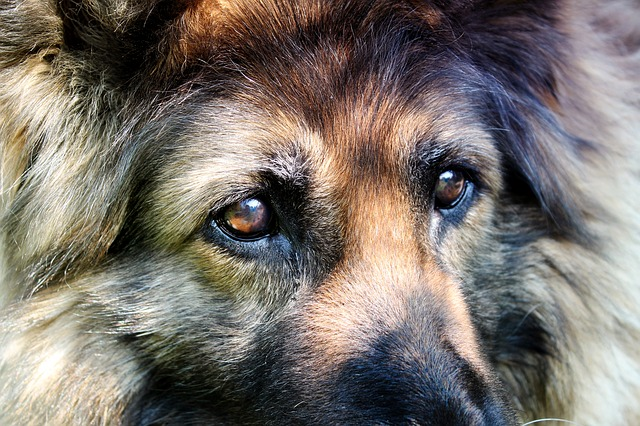 Free schäfer dog dog eyes dog pets hair fur view