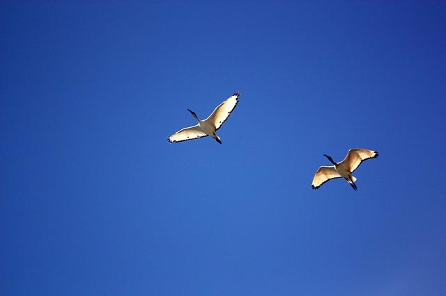 Free               bird birds seagull blue flight ala stork sky