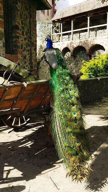 Free peacock bird spring dress ronneburg büdingen
