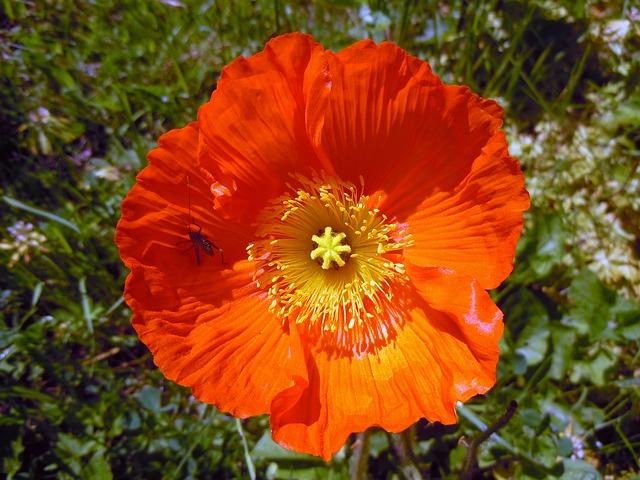 Free poppy orange bright