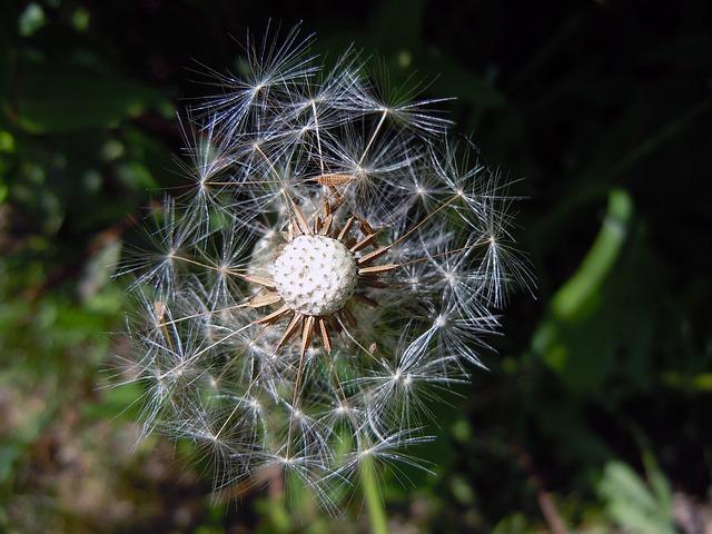 Free dandelion faded seeds close