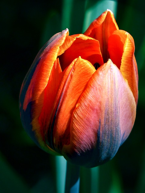 Free tulip red flower blossom spring seasonal nature