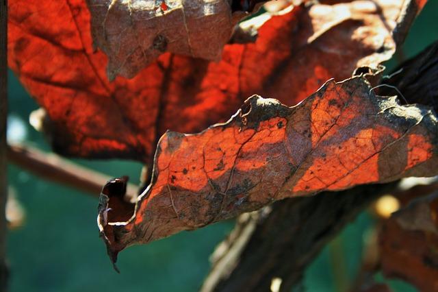Free russet leaf leaf vine old dry brown rust decay