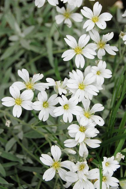 Free gypsophila white flower blooming