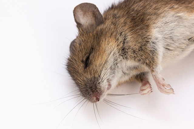 Free mouse wood mouse apodemus sylvaticus dead