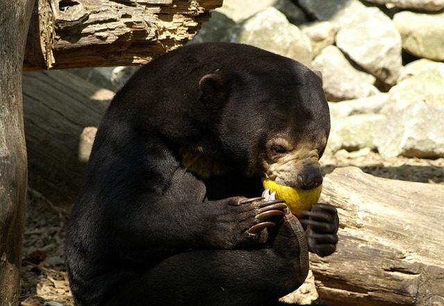 Free malayan sun bear bear zoo food tiergarten feeding