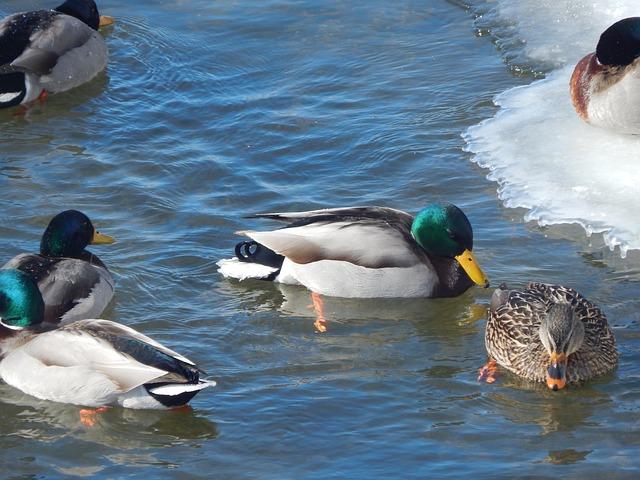Free water duck mallard animal ducks duck
