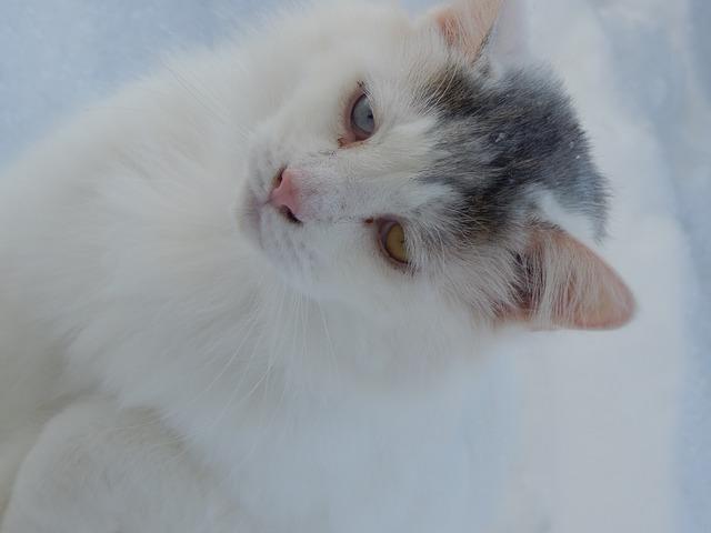Free cat cat face cat's eyes feline cute cat snow
