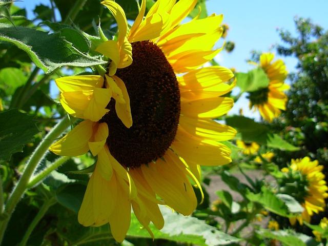 Free sunflower yellow blossom autumn sunflowers flower