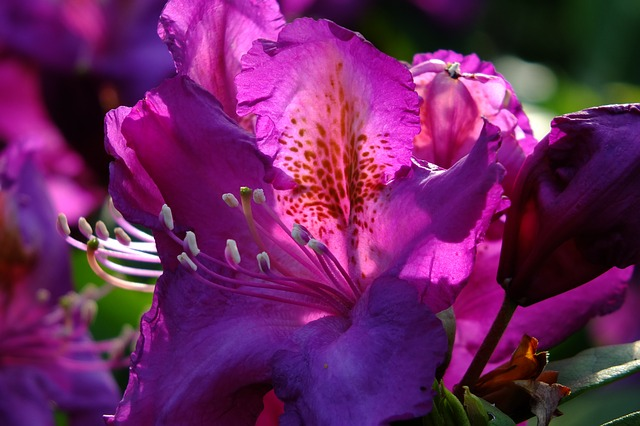 Free rhododendron lily flower back light flowers spring