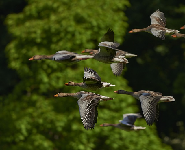 Free               flock of birds canada geese geese wing goose pets