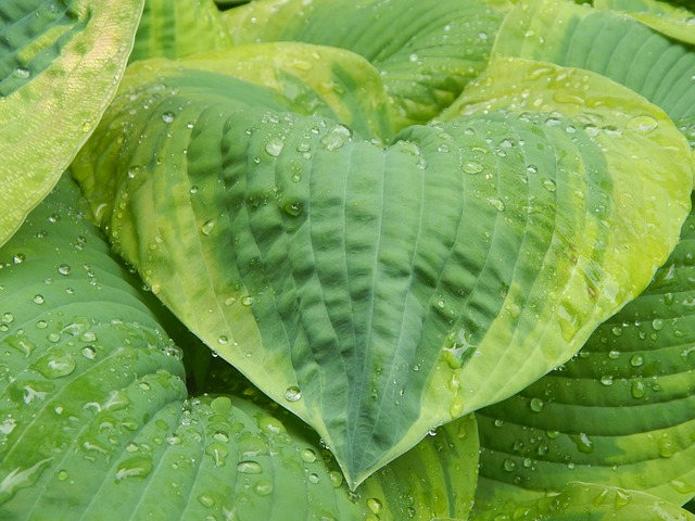 Free hosta leaf flora nature gardening rain water