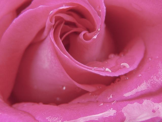 Free rose petals flower pink love rosaceae nature