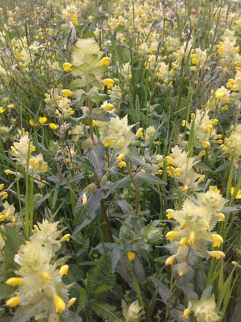 Free nettles early summer flower meadow yellow flowers