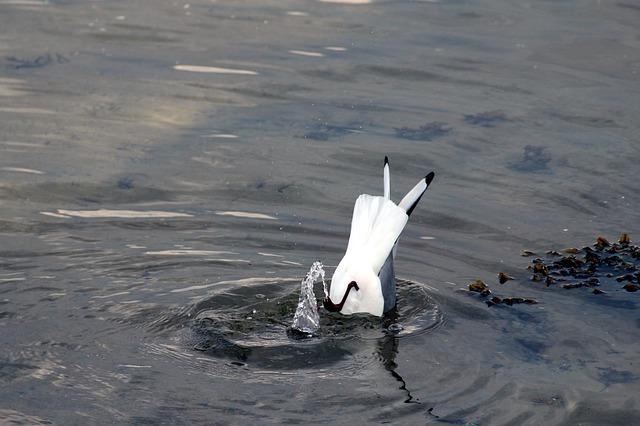 Free gulls seagull black headed gull