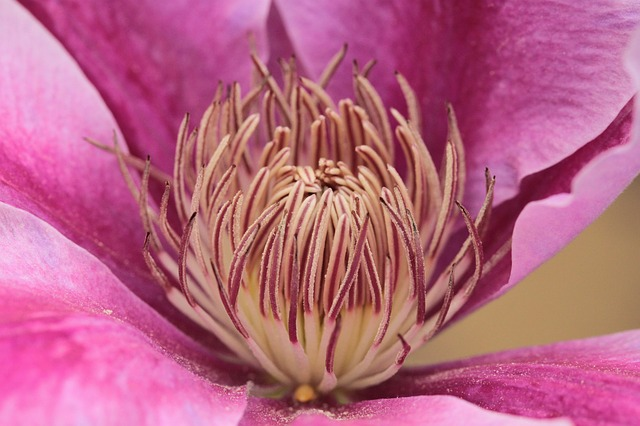 Free clematis climber flower flowers petals close