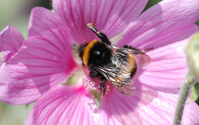 Free bee wings stripes insect macro mallow pollen